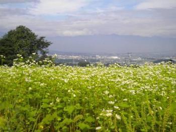 アルプスと蕎麦の花.jpg