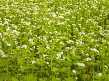 播種後一ヵ月の蕎麦の花.jpg